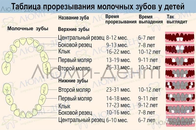 Сроки прорезывания молочных зубов Люми-Дент